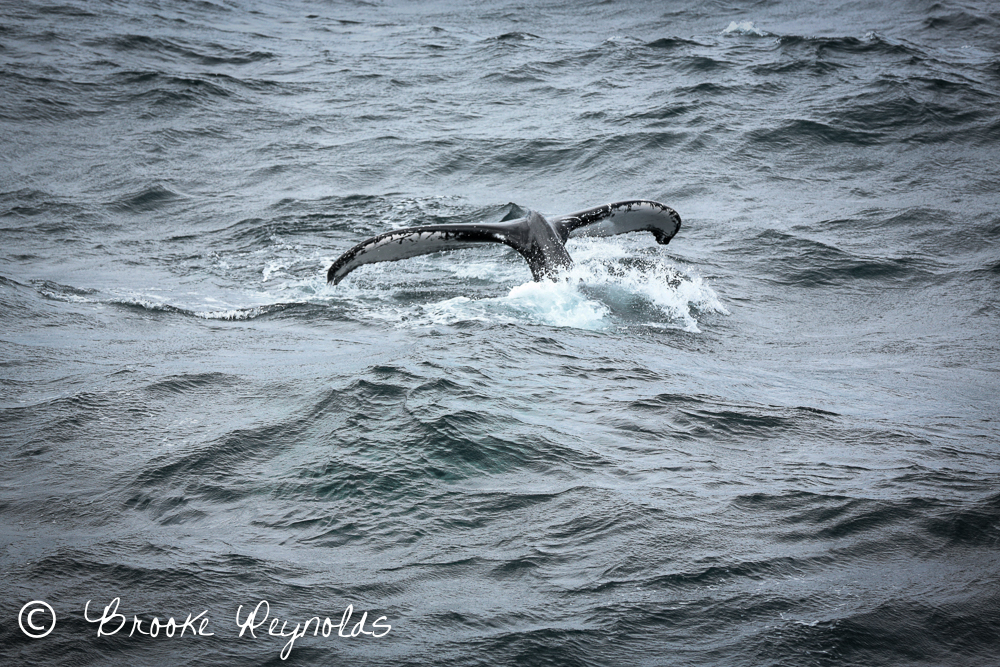 humpback whale, boston harbor