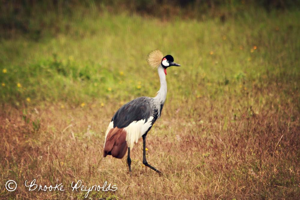 Crested Crane | Uganda's National Bird | Compassionate Nomads