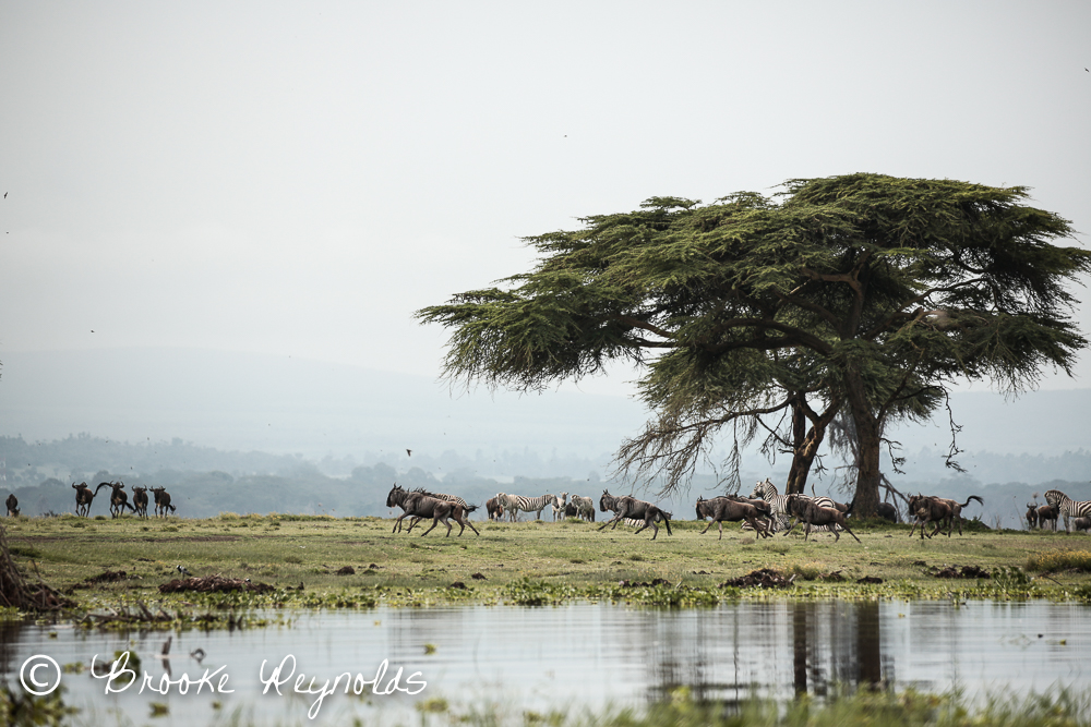 Wildebeest and zebras on Crescent Island